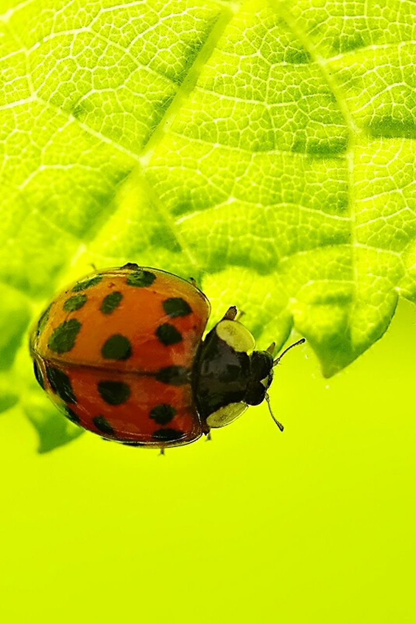 insect, animal themes, animals in the wild, leaf, one animal, close-up, green color, no people, animal wildlife, nature, focus on foreground, outdoors, day, fragility, ladybug, beauty in nature