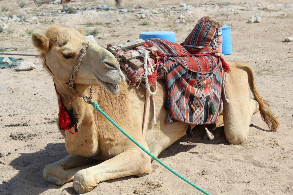 Animal Photography Camel Camels Desert Desert Adventure Desert Beauty Domestic Animals Mammal Outdoors Riding A Camel Sand Sunlight Showcase April