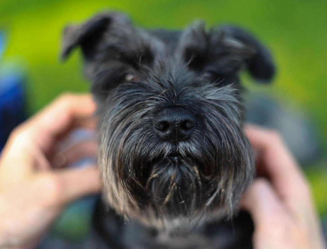 Black Dog Close-up Day Dog Dog Nose Miniature Schnauzer One Animal Outdoors Pets Portrait Summer Canon6dphotos Portrait Lens Canon6d Summer Afternoon Canonphotography I Love My Dog Shallow Depth Of Field Green Background Terrier Dogslife Dog Beard 50mmlens