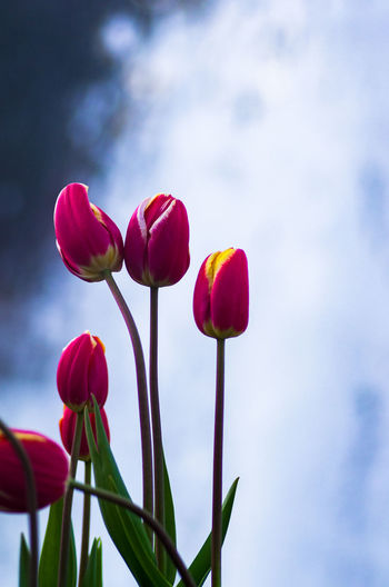 Beauty In Nature Blooming Close-up Day Flower Flower Head Fragility Freshness Growth Nature No People Outdoors Petal Plant Sky Tulip