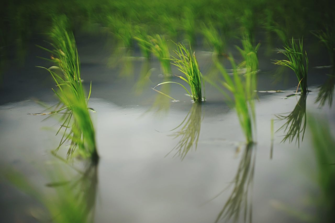 Plant Nature Rice Fields  Rice Farm Rice Planting Water Lake Reflection Agriculture Farm Life Taiwan Farm Miles Away Beauty In Nature Scenics Outdoors