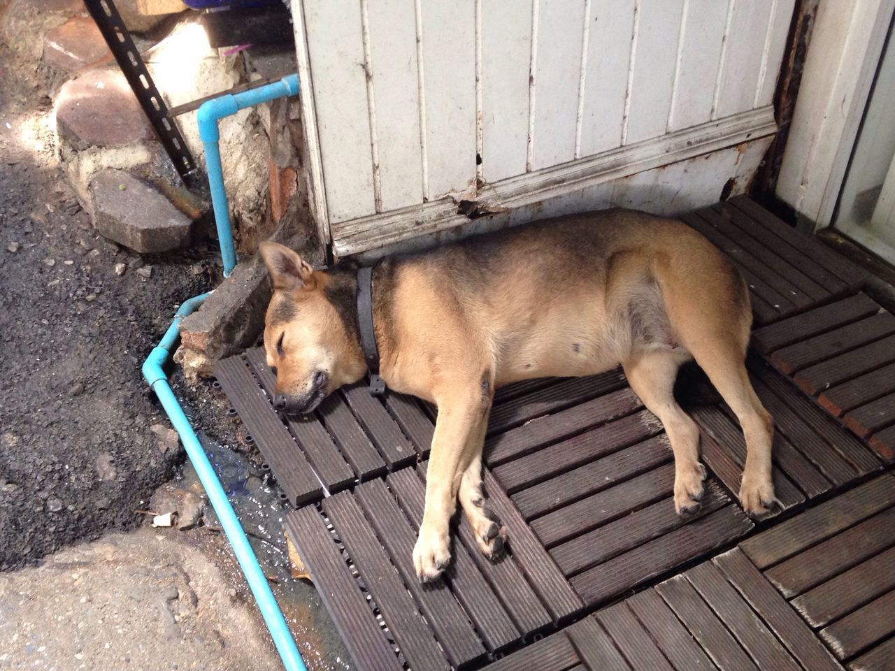 Sweet Dream Thai Dog Nap Thai Street Dog