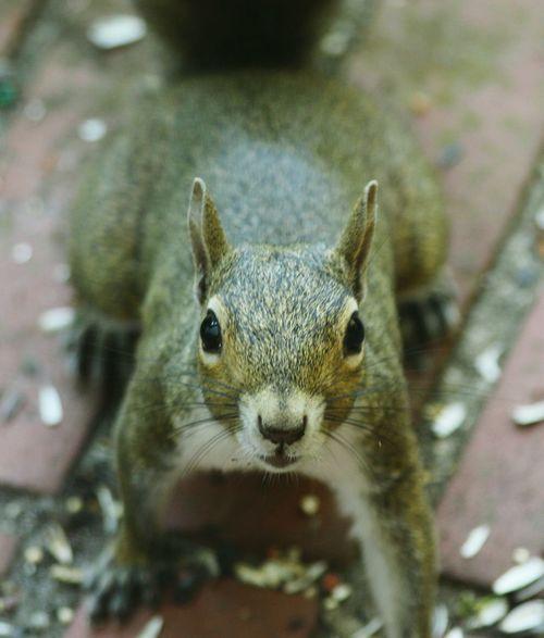 Animal Wildlife One Animal Animals In The Wild Close-up Looking At Camera Mammal Eye Squirrel Squirrel Closeup Squirrel Photography Squirrel Friend