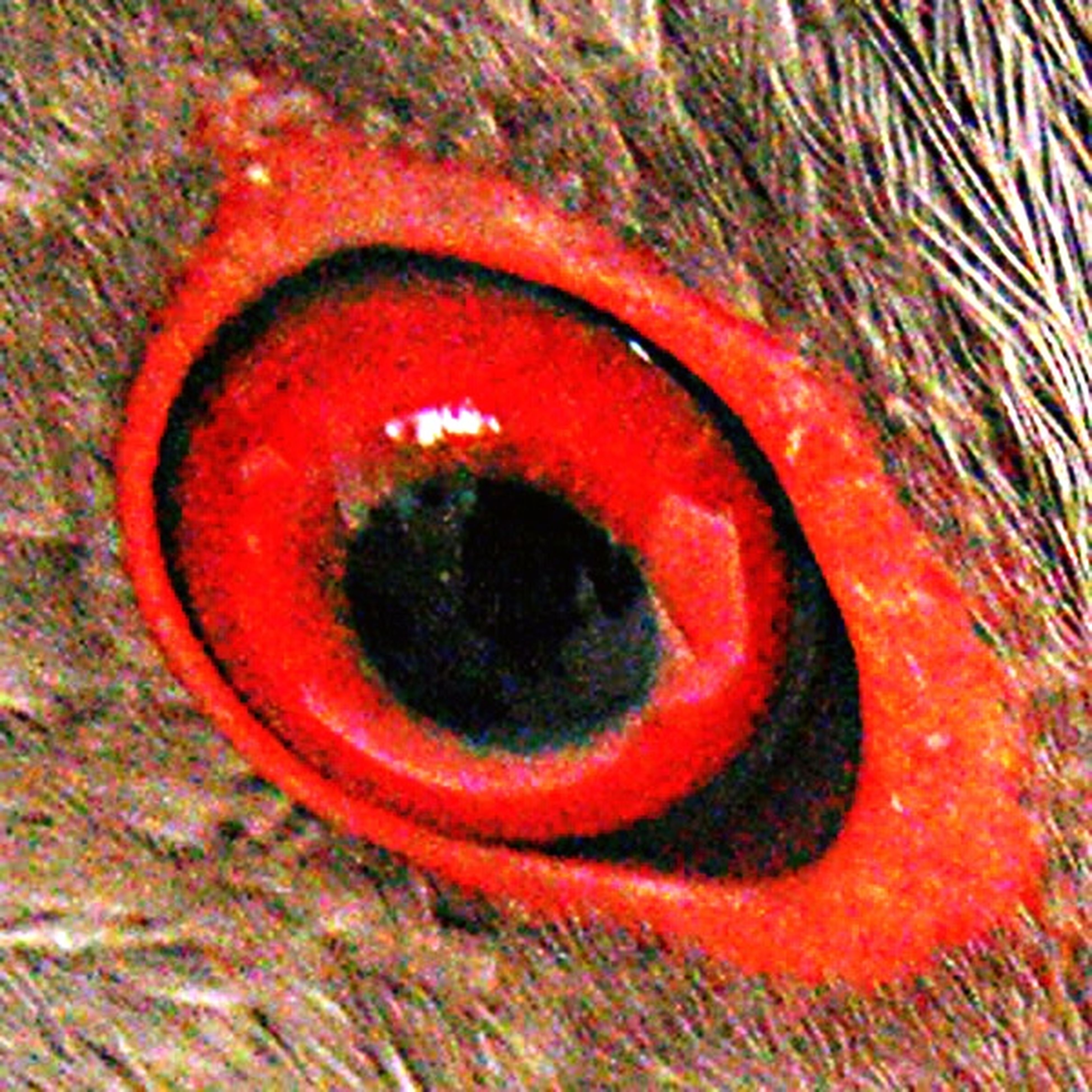 Eye Chirrincoco Eye Nature Nature Photography bird Birds Bird Photography Bird Watching Look DetailofChirrincoco San Vito, Costa Rica Costa Rica Red Eye