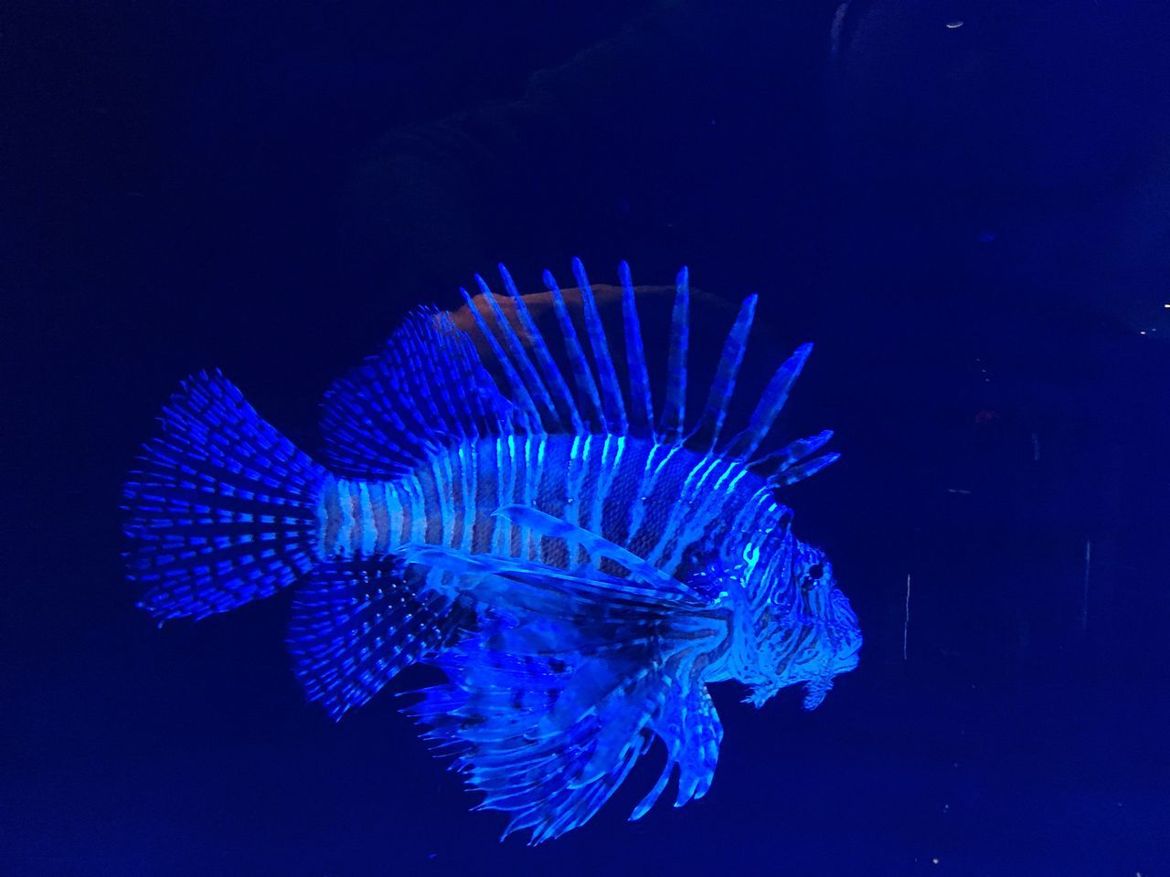 Blue Underwater Sea Life One Animal Animal Themes UnderSea Swimming No People Animals In The Wild Water Close-up Nature Indoors  Aquarium Fish Lionfish Lionfish (Pterois Volitans)