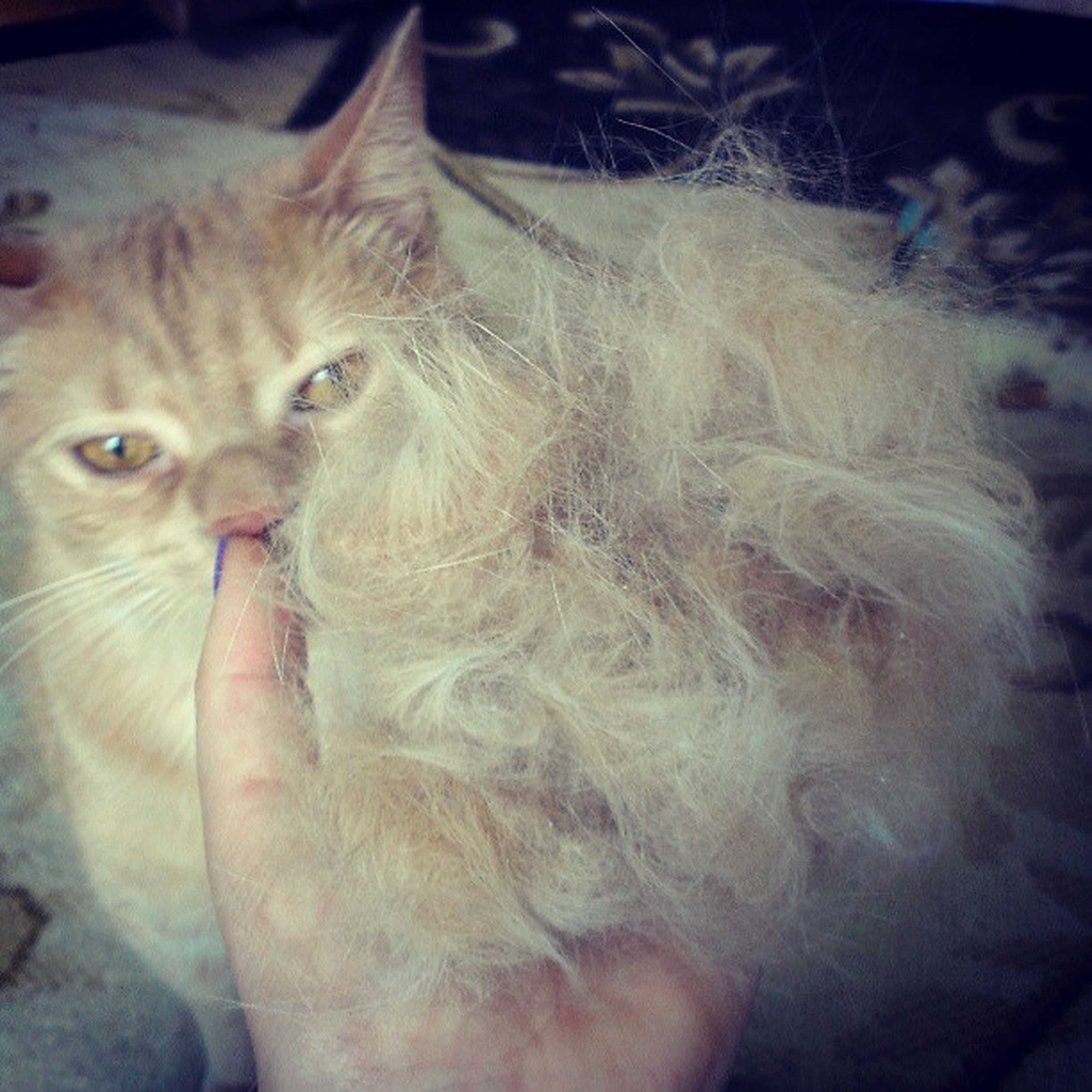 I JUST BRUSHED THIS CAT. Like three days ago! How is this even possible??? Mycathasfurbabies