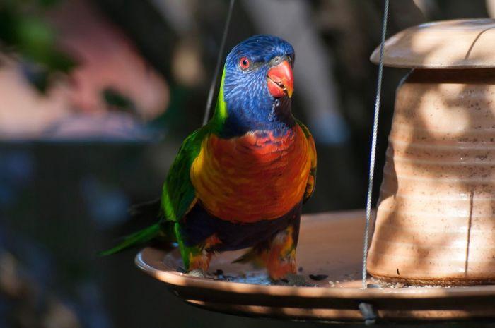 Lorakeet Bird Rainbow Lorikeet Nature Beauty In Nature Nature Photography NSW Australia Bird Photography Outdoor Photography Beauty In Nature Wildlife And Nature