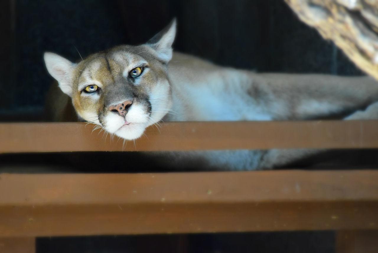 Beautiful stock photos of puma,  Animal Themes,  Animal Wildlife,  Big Cat,  Carnivora