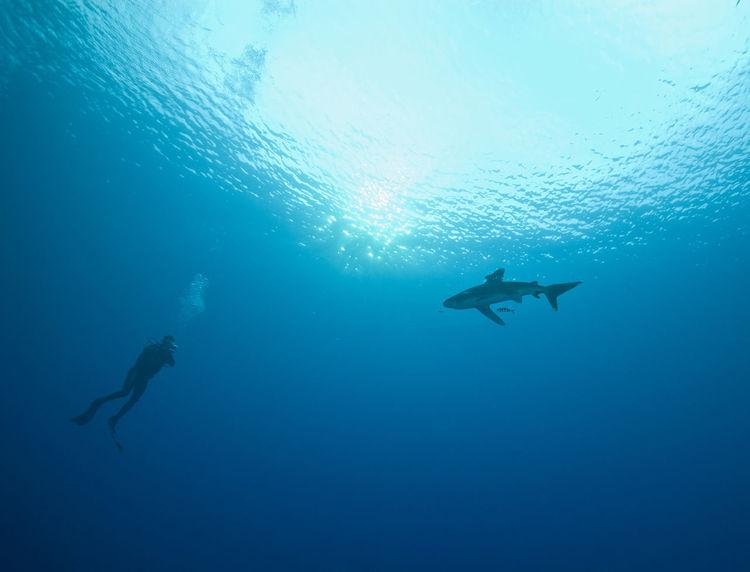 Oceanic white tip shark Carcharhinus Longimanus Diver Nature Ocean Oceanic Oceanic Shark Oceanic White Tip Shark Red Sea Sea Life Shark And Diver Surface UnderSea Underwater Water