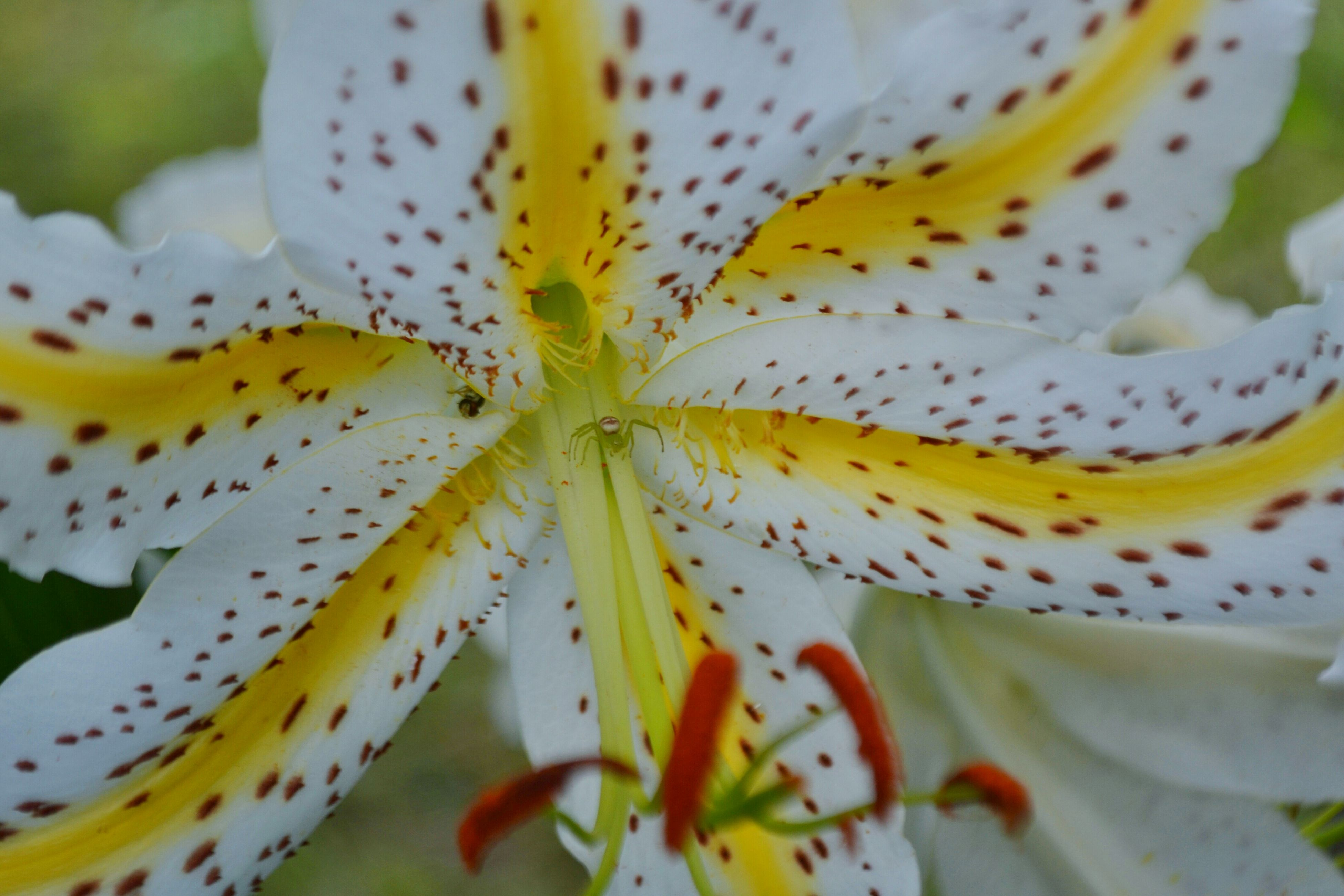 flower, petal, flower head, freshness, fragility, single flower, close-up, beauty in nature, pollen, growth, stamen, nature, blooming, extreme close-up, plant, yellow, natural pattern, selective focus, white color, design