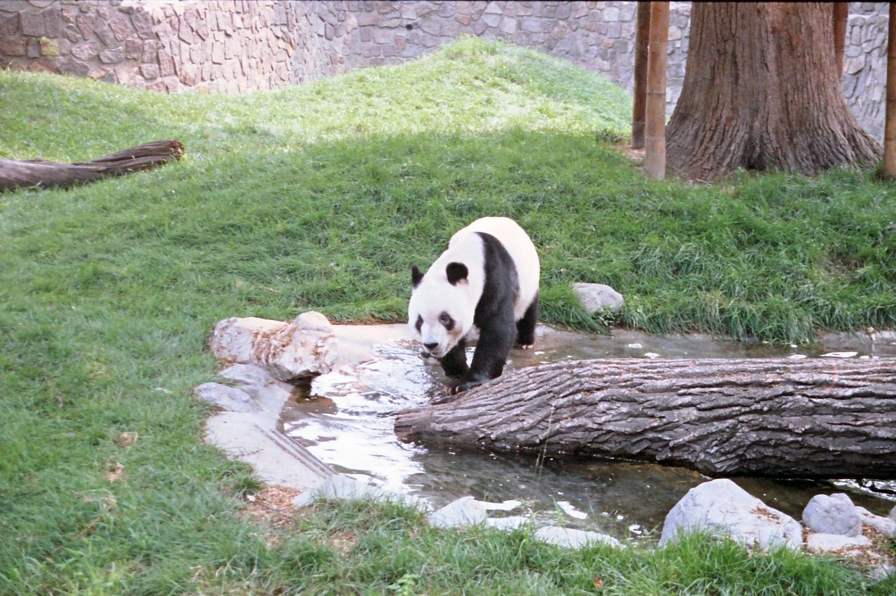 Panda, Beijing Zoo Animal Beijing China Composition Full Frame Grass Grassy Log Looking At Camera National Animal Nature No People Outdoor Photography Panda Pool Shadow Tourism Tourist Attraction  Tourist Destination Water Zoo
