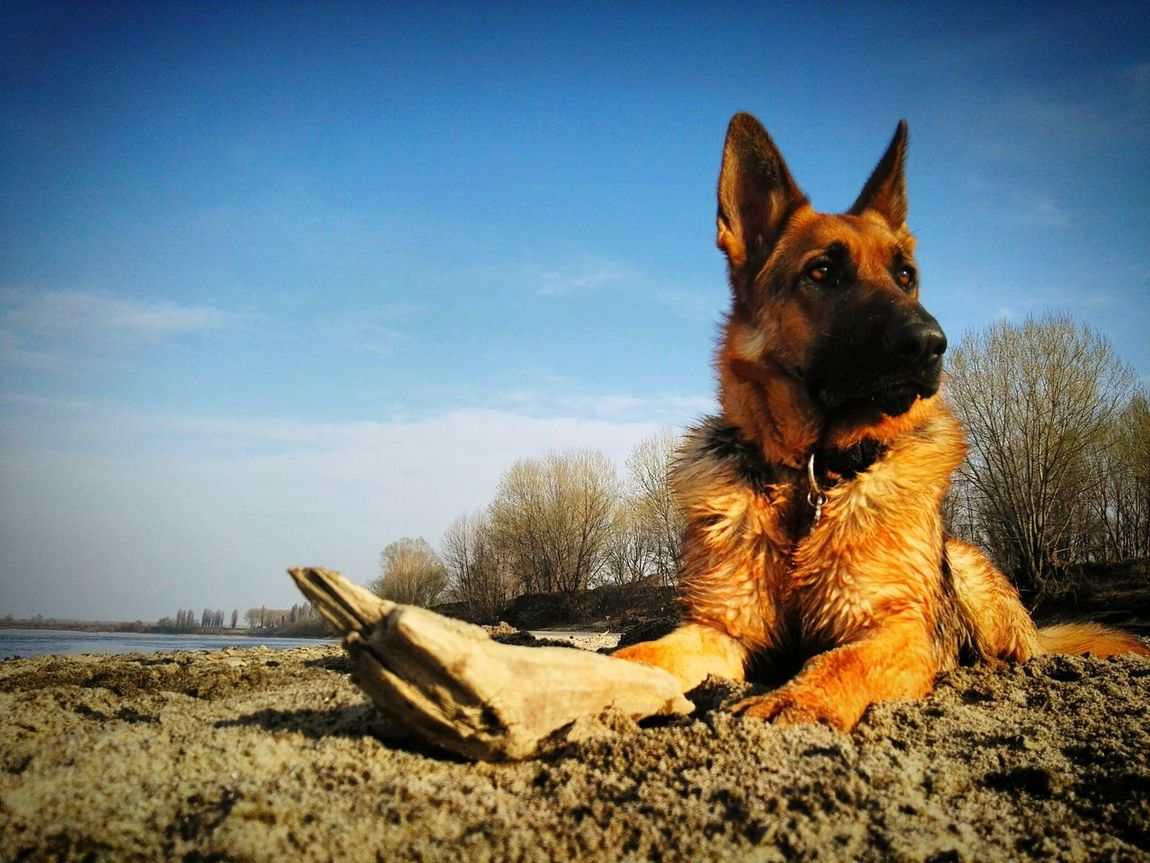 One Animal Dog Pets Beach Animal Themes No People Domestic Animals Relaxation Mammal Close-up German Shepherd Day German S Grass Nature Tree Life Portrait My Life My Dog :) Sky Outdoors Live For The Story