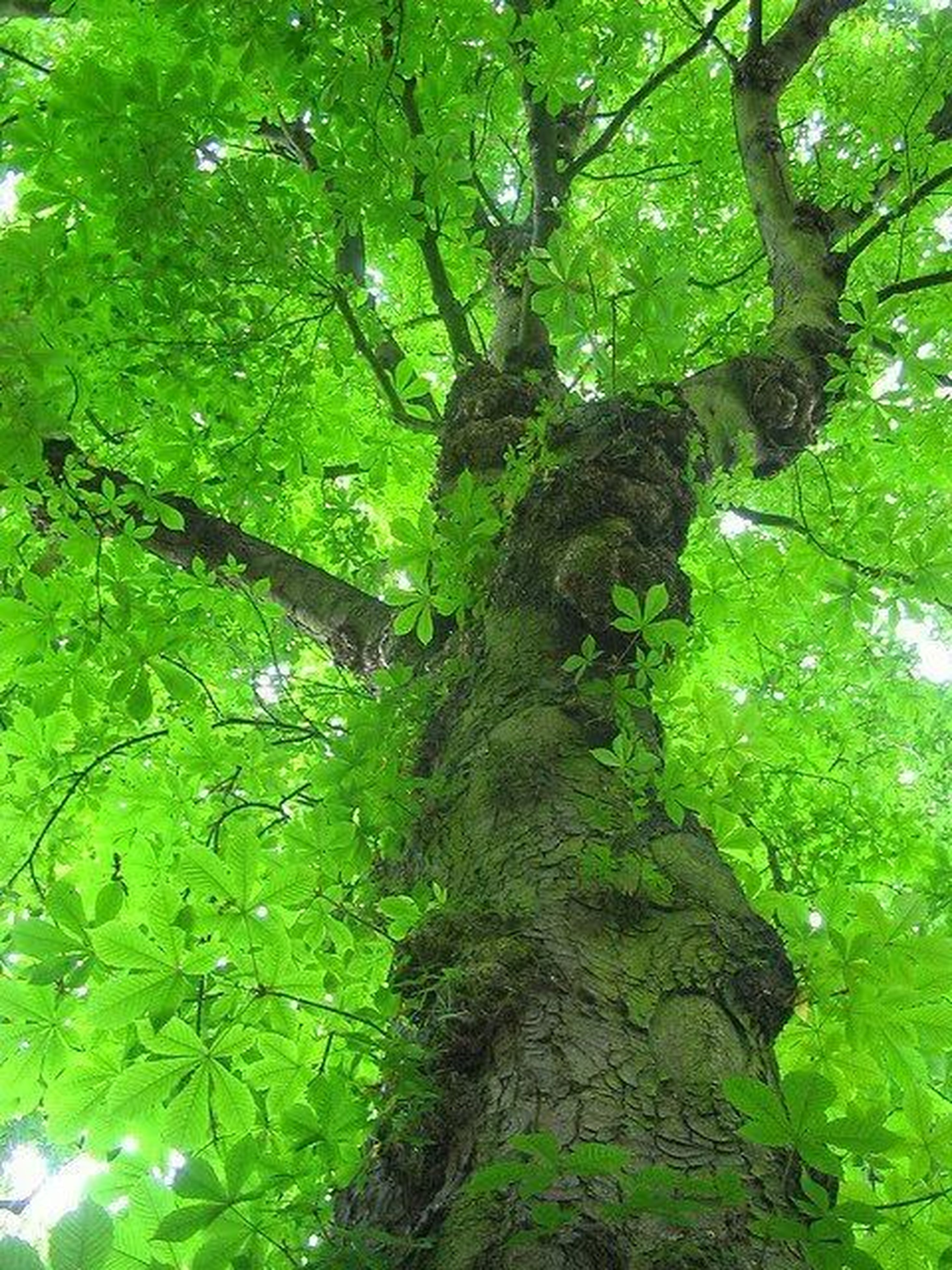 tree, green color, growth, forest, nature, tranquility, branch, beauty in nature, lush foliage, leaf, tree trunk, green, tranquil scene, low angle view, plant, scenics, day, outdoors, no people, moss