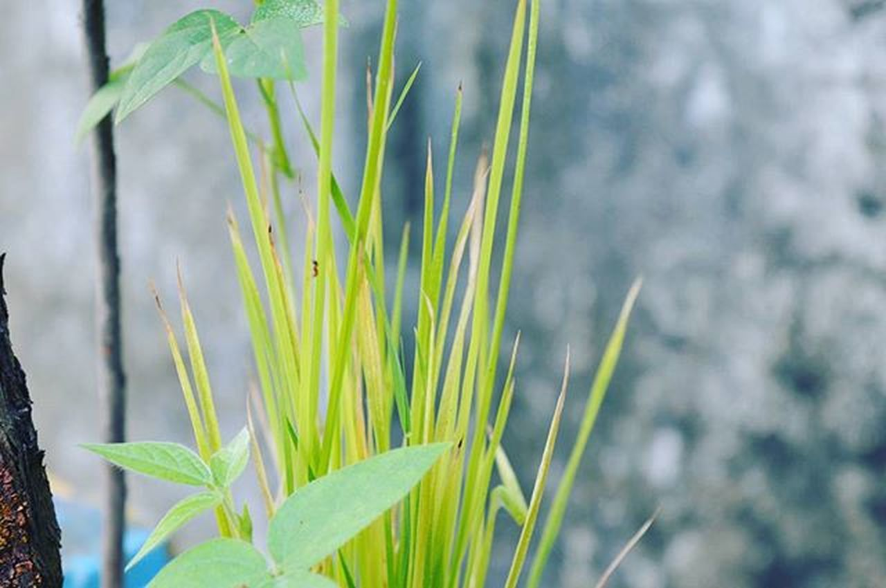 growth, plant, green color, agriculture, cereal plant, nature, outdoors, day, close-up, focus on foreground, no people, leaf, freshness, rural scene, beauty in nature, grass