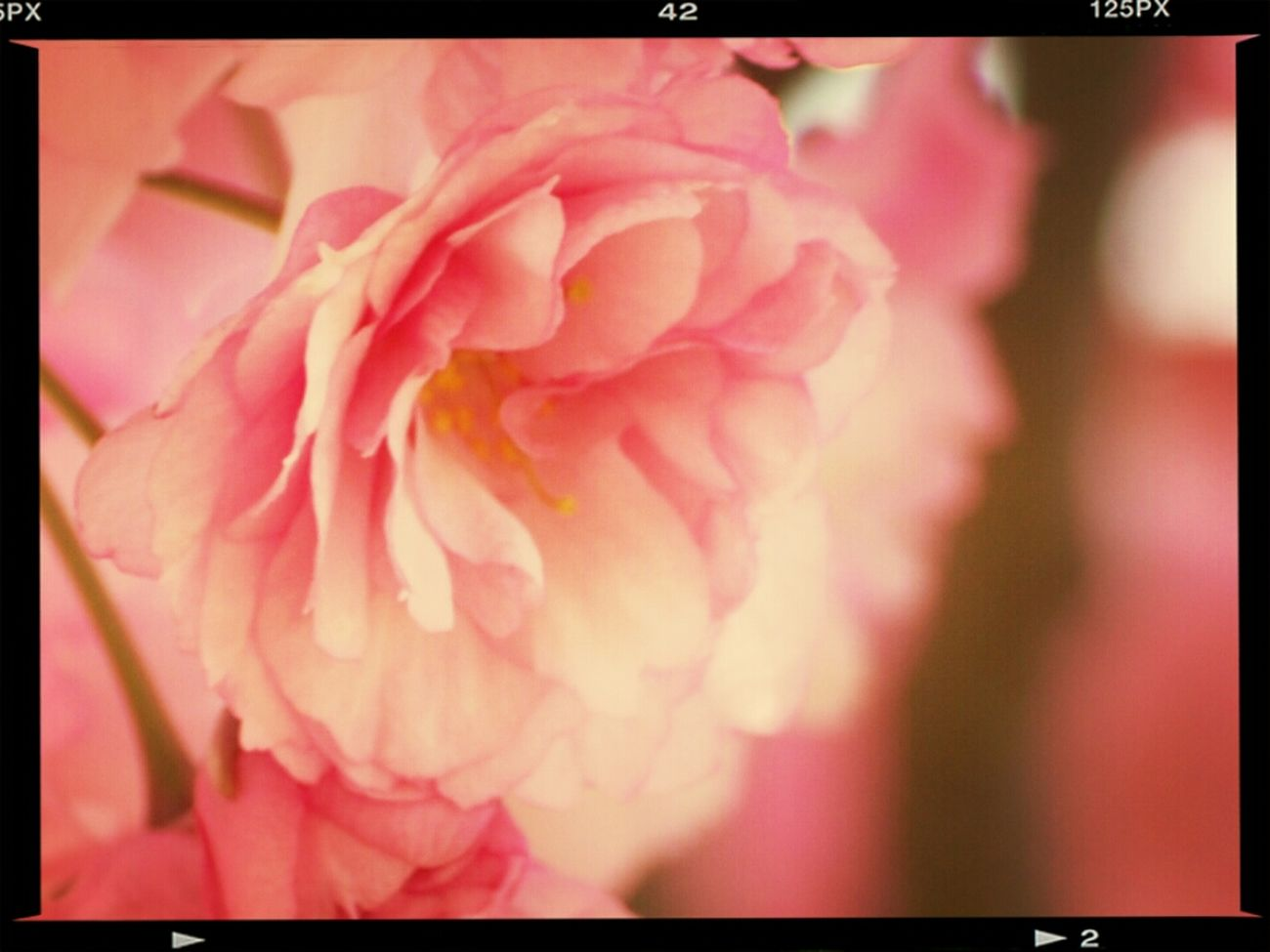 Nikon D80 And 55-200mm Tamron Lens. Nikon D80 And EYEemEditing Beautiful Rose ♡ Eye Em Nature Lover