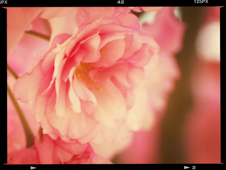 Nikon D80 And 55-200mm Tamron Lens. Nikon D80 And EYEemEditing Beautiful Rose ♡ Eye Em Nature Lover