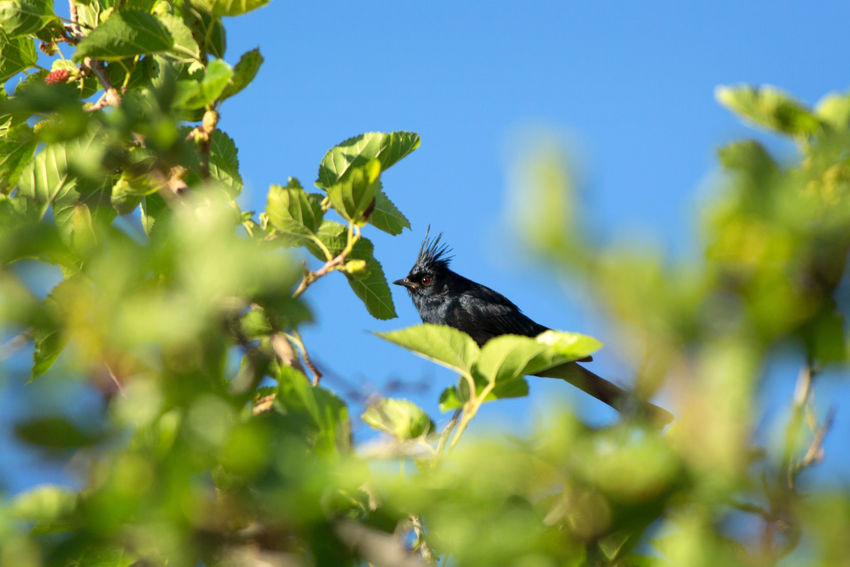 phainopepla Bird One Animal Animal Wildlife Animals In The Wild Green Color Tree Animal Themes Perching Branch Nature Outdoors Phainopepla Grafton Ghost Town Mulberry Tree Utah Southern Utah  Leaf Animals In The Wild