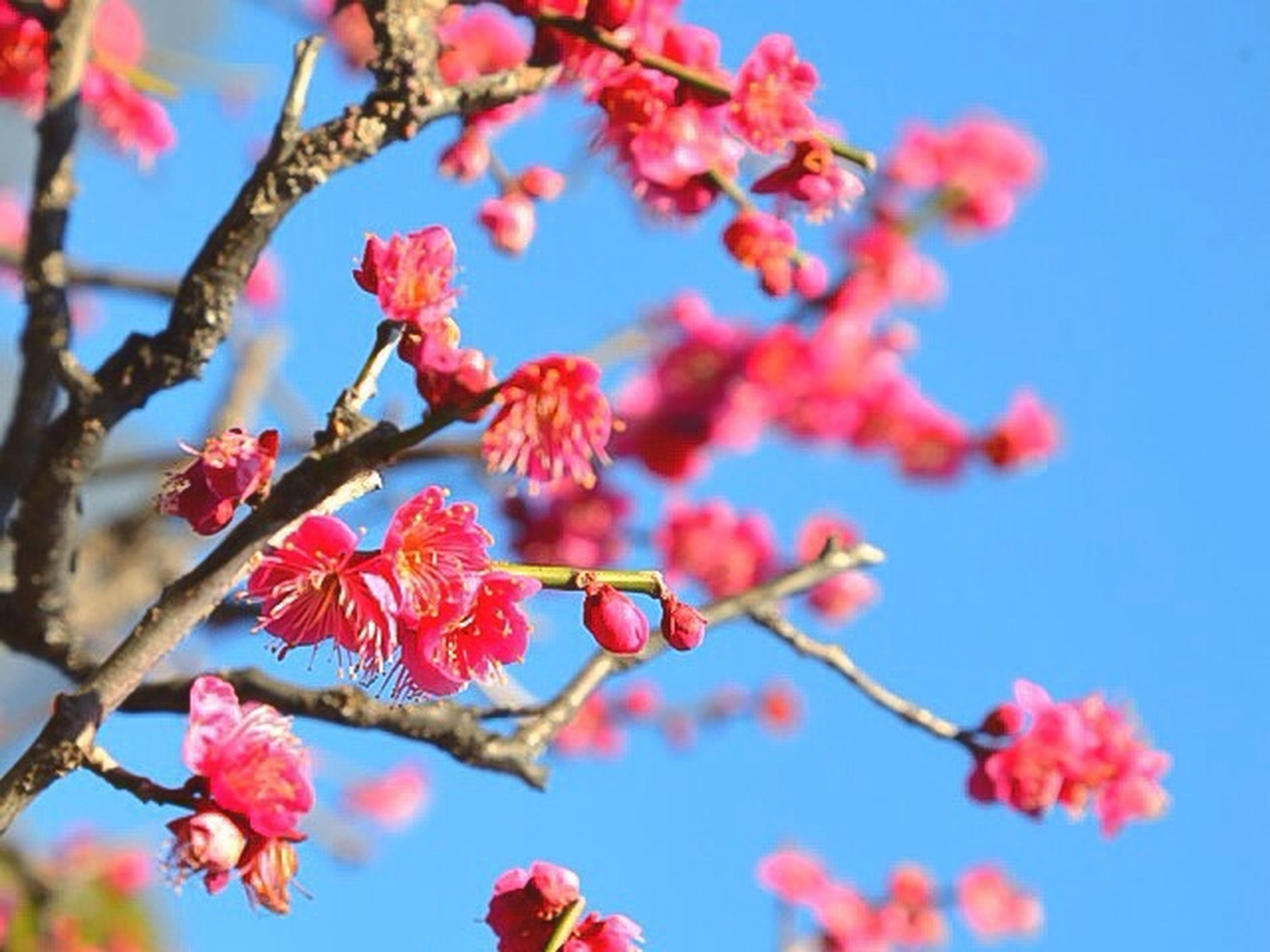 flower, freshness, fragility, growth, branch, beauty in nature, pink color, blossom, petal, low angle view, tree, blooming, nature, cherry blossom, cherry tree, focus on foreground, clear sky, springtime, in bloom, close-up