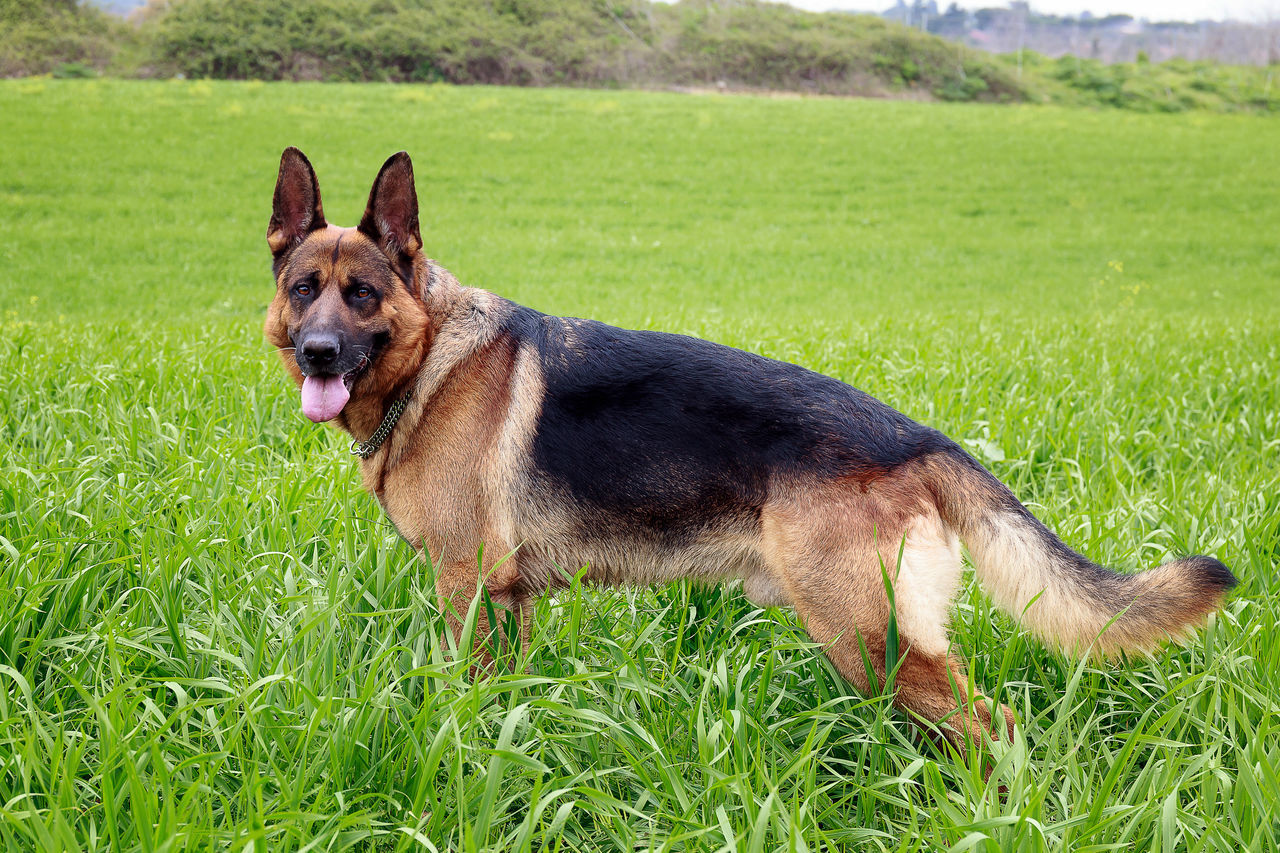 Portrait of German Shepherd dog, taken up in the grass. Profile view Animal Themes Day Dog Domestic Animals Field Full Length German Shepherd Grass Green Growth Mammal Nature No People One Animal Outdoor Outdoors Panning Paws Pets Police Dog Race Security Guard