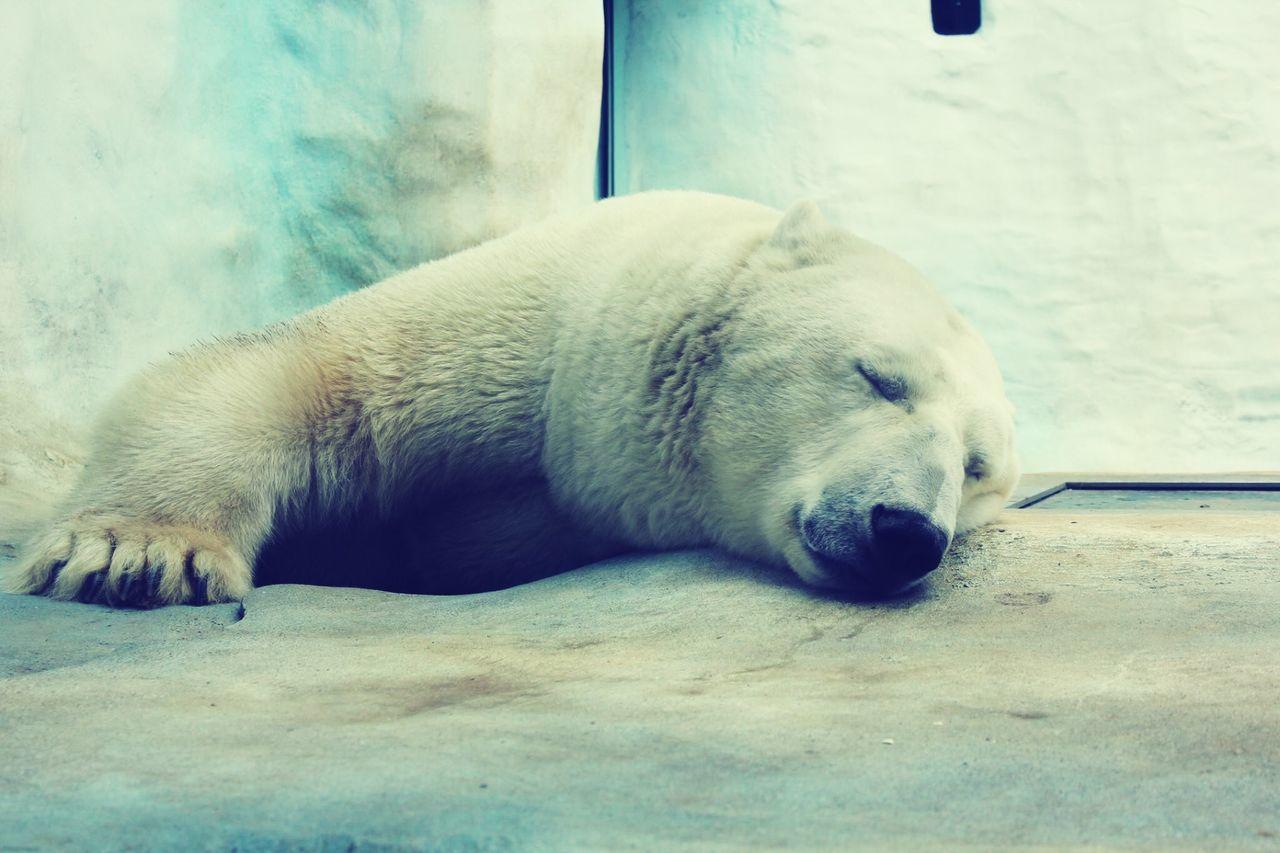 Polar bear Polar Bear Toledo Zoo Arctic Bear Winter