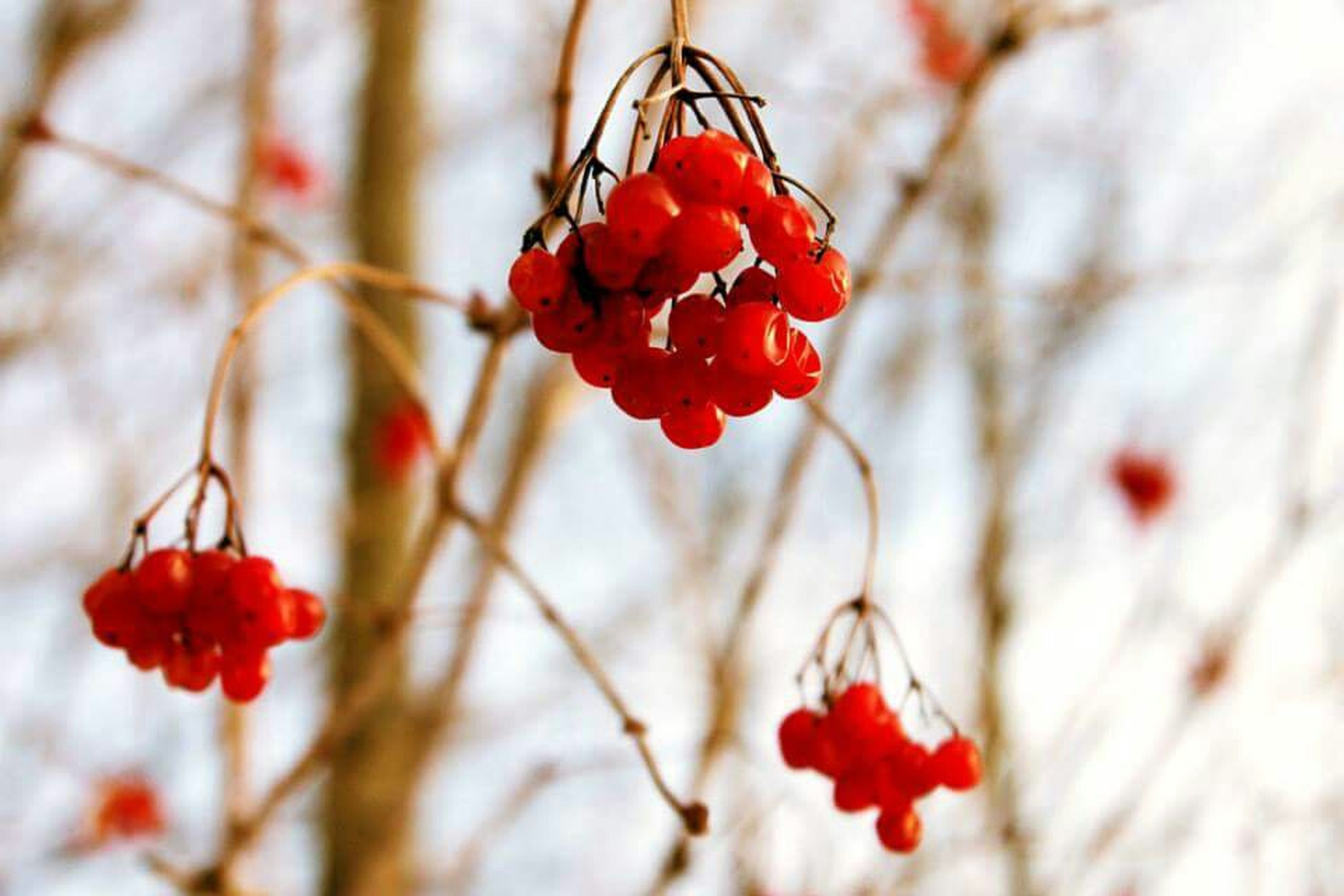 red, flower, freshness, fragility, growth, focus on foreground, beauty in nature, branch, close-up, nature, petal, twig, tree, plant, in bloom, season, blossom, flower head, selective focus, blooming