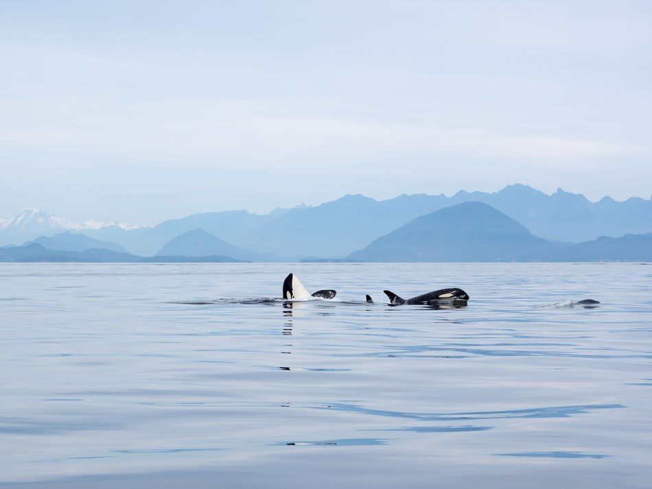 Animal Wildlife Awe Beauty In Nature Canada Day Floating On Water Killer Whale Killer Whales Landscape Mountain Nature No People Ocean One Animal Orca Orcas Outdoors Ozean Playful Scenics