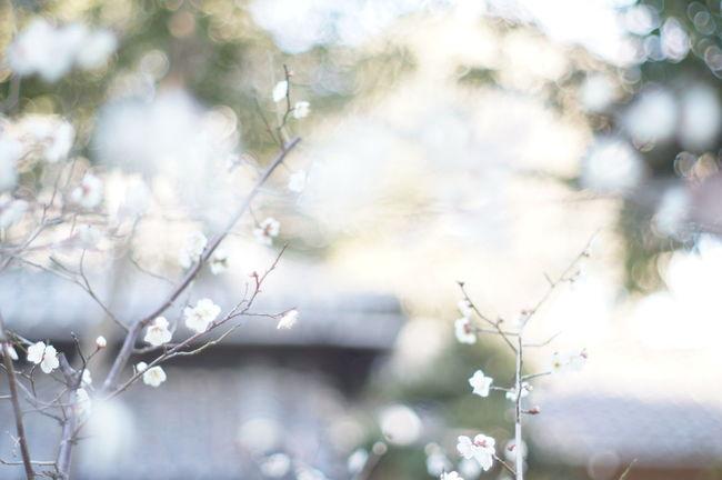 Oldlens Nofilter EyeEm Flower 梅 Japan Photography White Album WhiteCollection