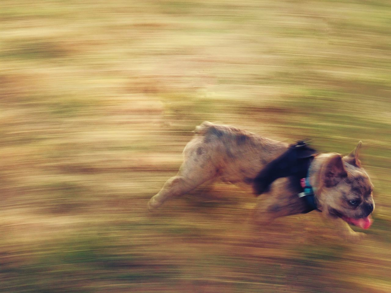 Speedy Lil Wayn Speedy Little Frenchie Young French Bulldog On The Run Movement Photography Dog Dogs Of EyeEm Pet Running Dog Puppy Puppy Dog Face Blue Eyes