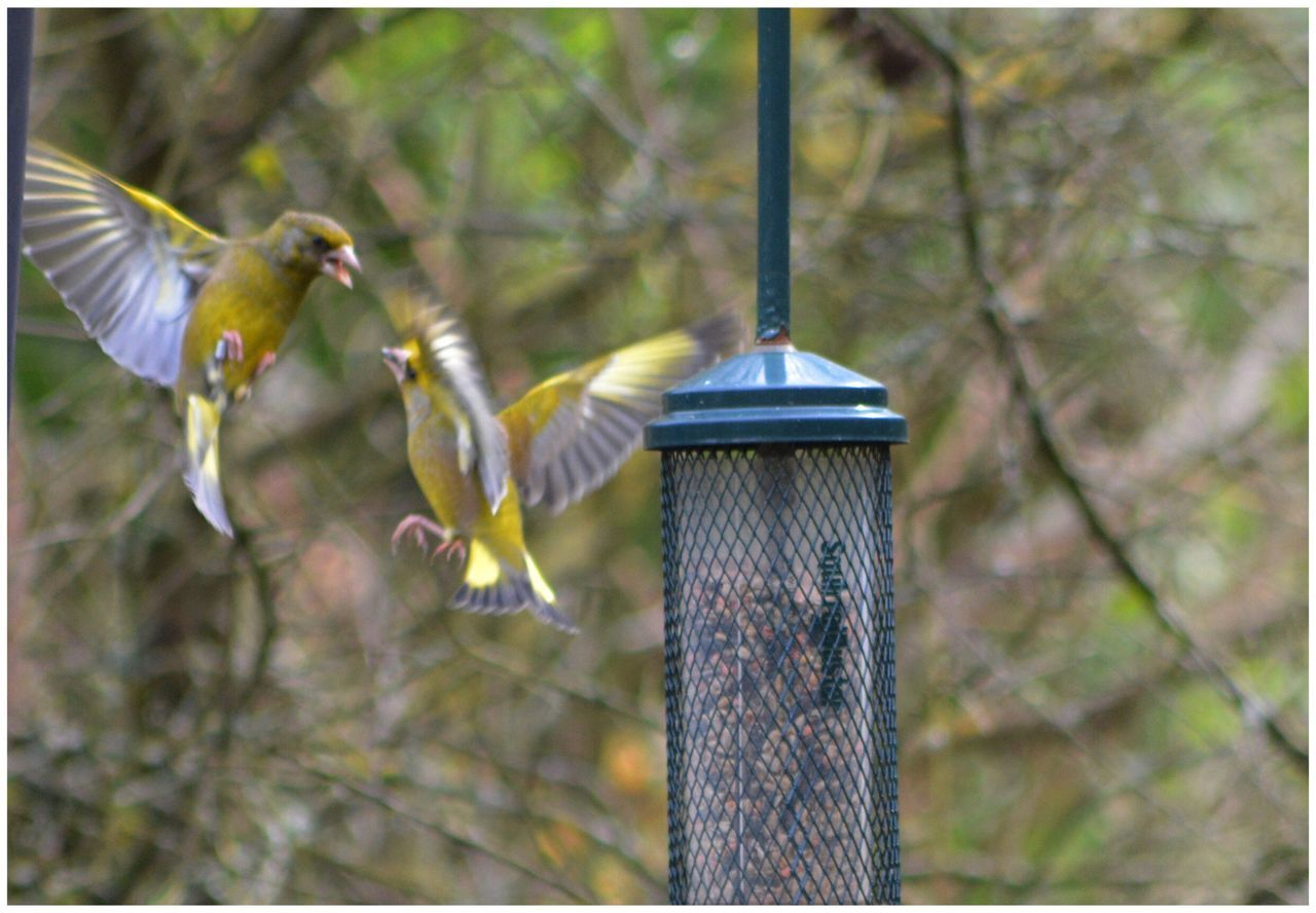 animal themes, bird, no people, animals in the wild, focus on foreground, nature, one animal, day, outdoors, spread wings, hanging, beauty in nature, animal wildlife, bird feeder, flying, close-up