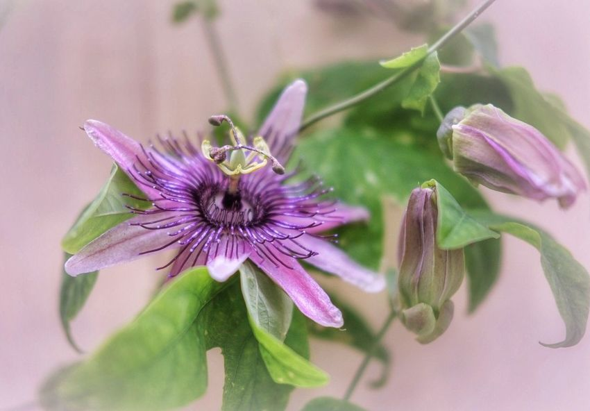 Passionflower Flower Fragility Petal Nature Beauty In Nature Flower Head Plant Freshness Purple Growth No People Close-up Leaf Outdoors Day Blooming Passion Flower