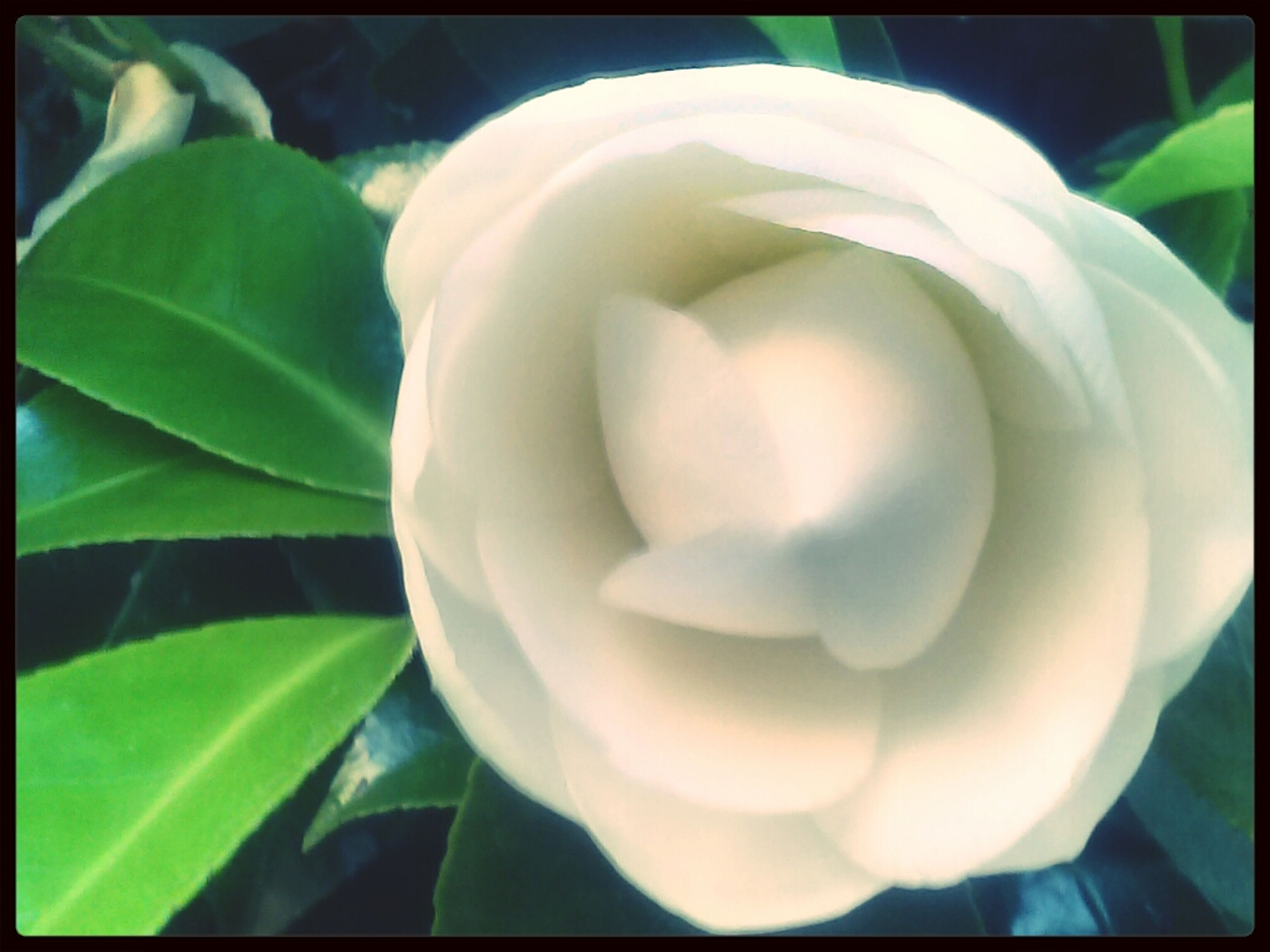 flower, transfer print, freshness, petal, flower head, fragility, growth, close-up, beauty in nature, auto post production filter, nature, white color, plant, single flower, blooming, leaf, focus on foreground, in bloom, blossom, rose - flower