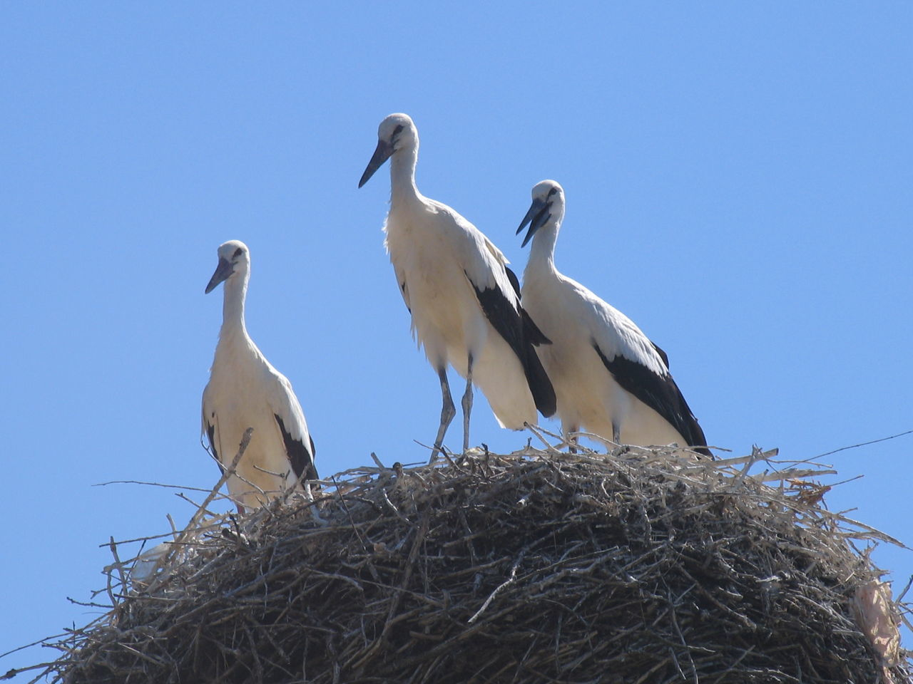 animals in the wild, bird, animal themes, animal wildlife, clear sky, bird nest, low angle view, two animals, stork, day, togetherness, no people, nature, white stork, outdoors, perching, beauty in nature, sky