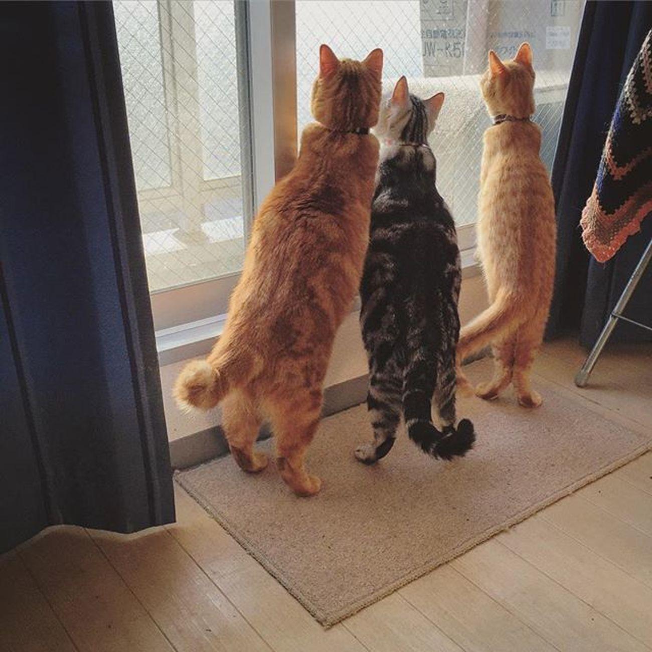 スコティッシュフォールド Scottishfold 茶トラ ロロ Lolo コケティッシュフォールド コケティッシュホールド Cat Neko ねこ 猫 ねこ Cats アメリカンショートヘアー アメショ Americanshorthair ズズ ズズ子 Zuzu ズズっぺ シルバータビー ピオ Piopio Pio 外のでかいハエに総立ちな朝の3ニャンですよ…😆😸💦