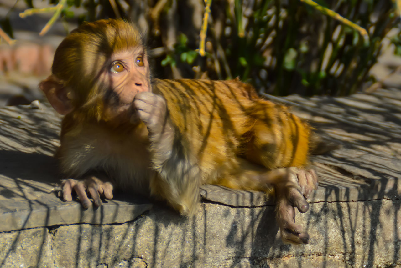 Monkey Primeape Animal Themes One Animal Mammal No People Nature Swayambhunath EyeEm Best Shots Travel Travel Photography Kathmandu, Nepal Eyeem Philippines Calm Zen Monkey Temple Shadows & Lights
