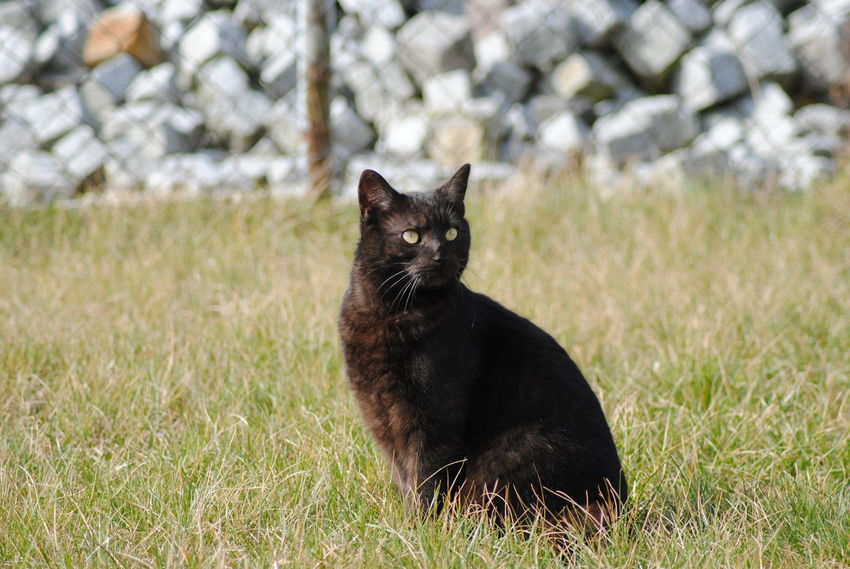 Fritz CDRE Cats Cat Cats Of EyeEm Catlovers Garden Meadow Pet Animal Themes Animals In The Wild Black Cat On The Meadow Grass Grassy Looking At Things Looking Awareness Curiosity Domestic Animals Feline Pets Springtime Katze Spring Has Arrived Cute Pets Cute Pet Portraits