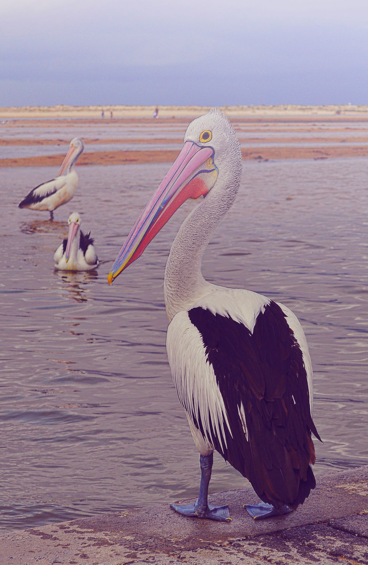 Australia Portstephens Pelican Bird Animals In The Wild Animal Themes Animal Wildlife One Animal Lake Water No People Outdoors Beauty In Nature Model