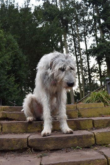 One Animal Petscorner Cearnaigh Portrait Looking At Camera Irish Wolfhound Dogslife Dogs Of EyeEm Dog Of The Day Dogwalk Dogs Of Winter February 2017 Winter 2017 Showcase February 2017 Outdoors Domestic Animals Dog Animal Themes Stairs