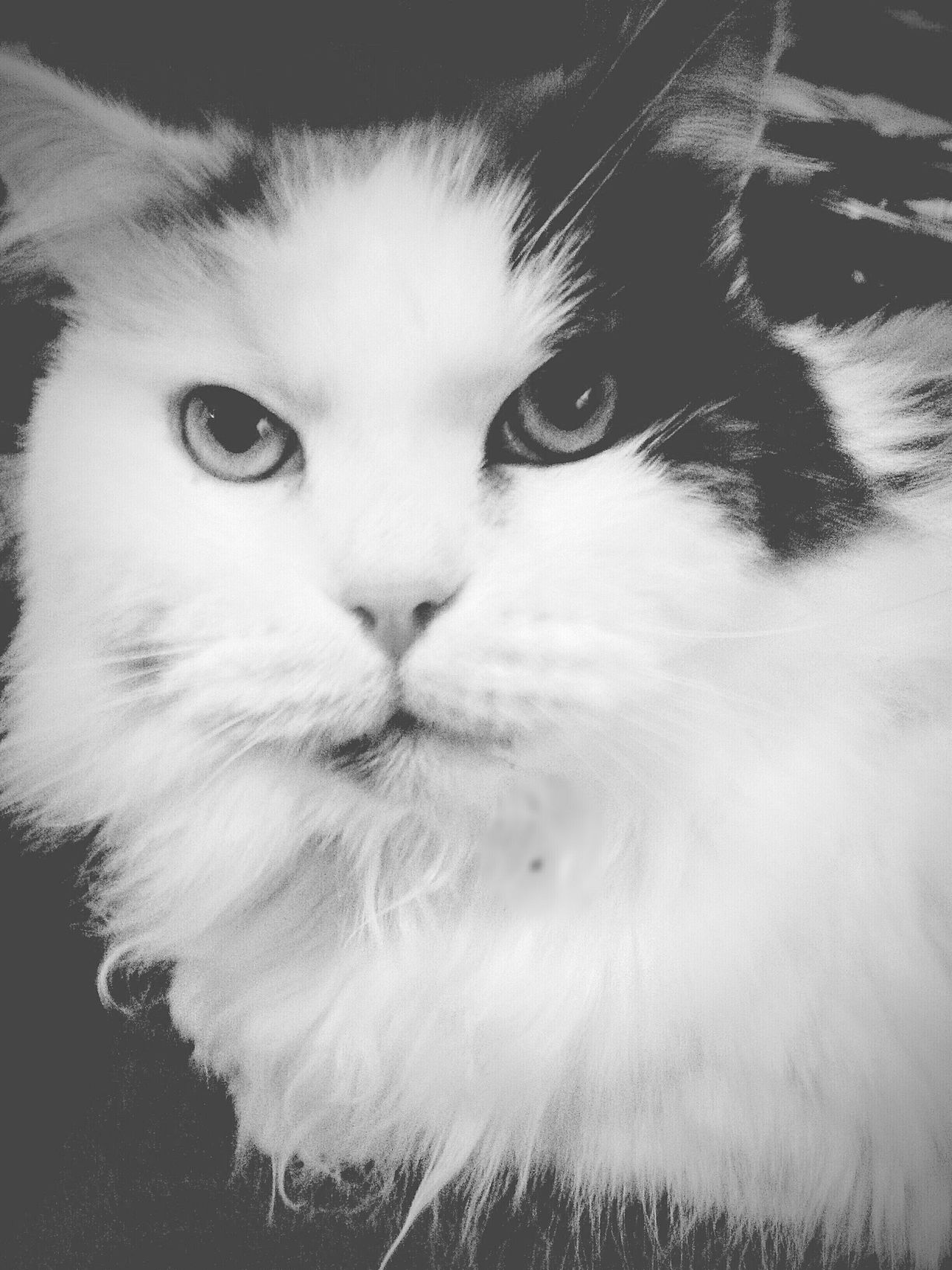 Domestic Cat Portrait Pets Looking At Camera Domestic Animals Feline One Animal Headshot Close-up Indoors  Animal Themes Black And White Black And White Photography No People Cateyes Catlover My Cat