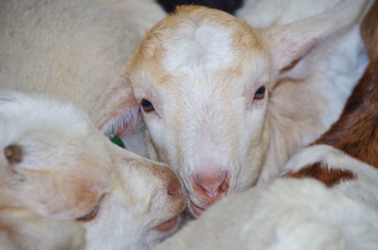 Animals Farm Sheep Lamb Cute New Life Spring No People Closeup Nature