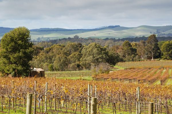Autumn sunshine on the vines in the Barossa Valley South Australia Barossa Valley Agriculture Australia Autumn Beauty In Nature Cloud - Sky Crop  Day Fall Farm Field Growth Landscape Nature No People Outdoors Rural Scene Scenics Sky Tranquil Scene Tranquility Travel Tree Vines Vineyard