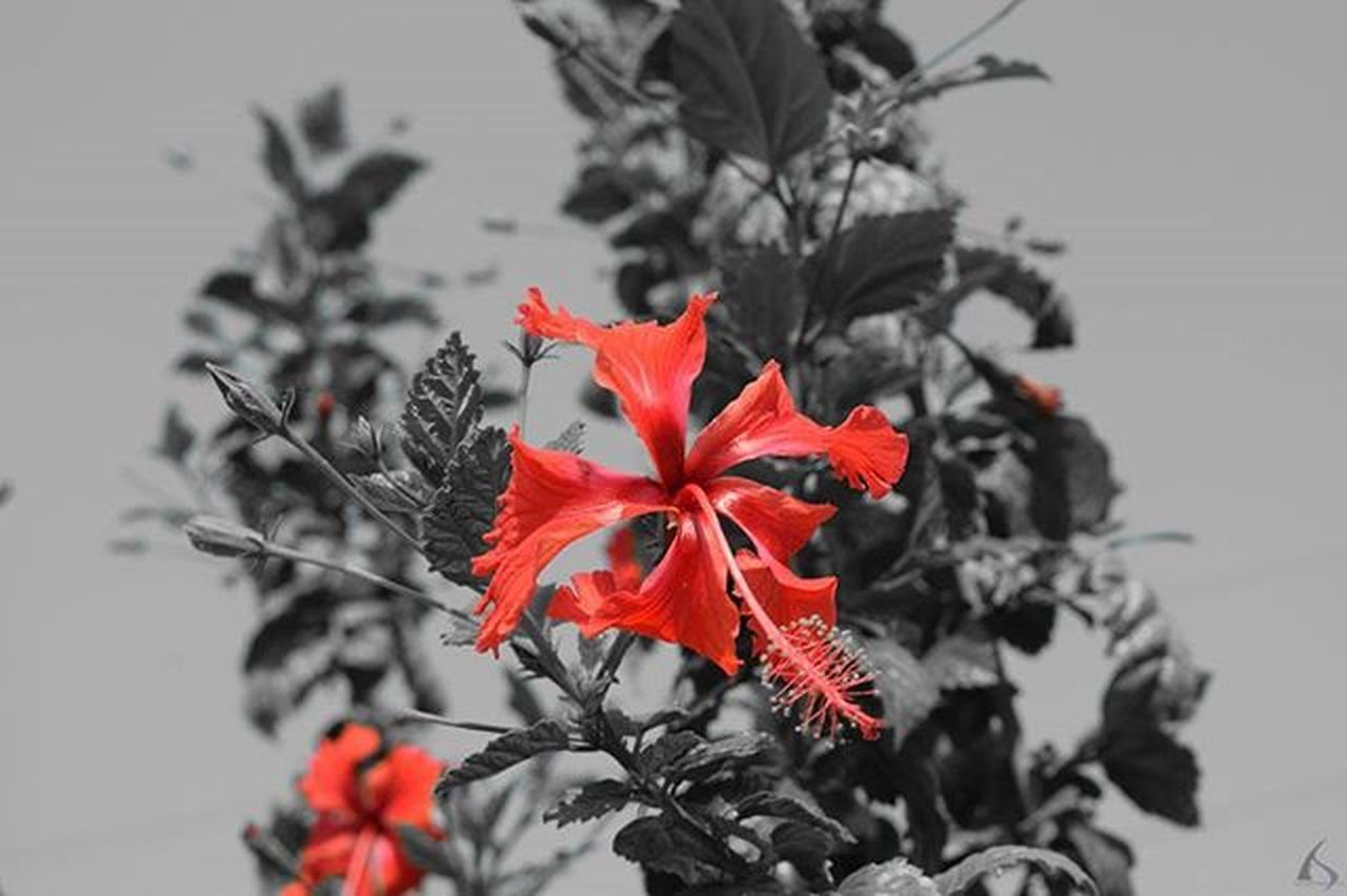 Happy Women's Day. Picturesque view in Black and Red Settings By- Authoritarian Sky Idea by- @reyhan_mansoori Camera held by- Authoritarian Sky Photooftheday Photowalk Village Chinarose Flowers Hibiscus Selectivecolor Nikond5300 Nikoninsta Beautiful Natural Noedit Nofilter Raw HD Nikon Natureperfection Naturelovers Nature_perfection View RedFlower Leaves Instagram Instamood Instalove india picoftheday bestdayever nikon_photography_ womensday