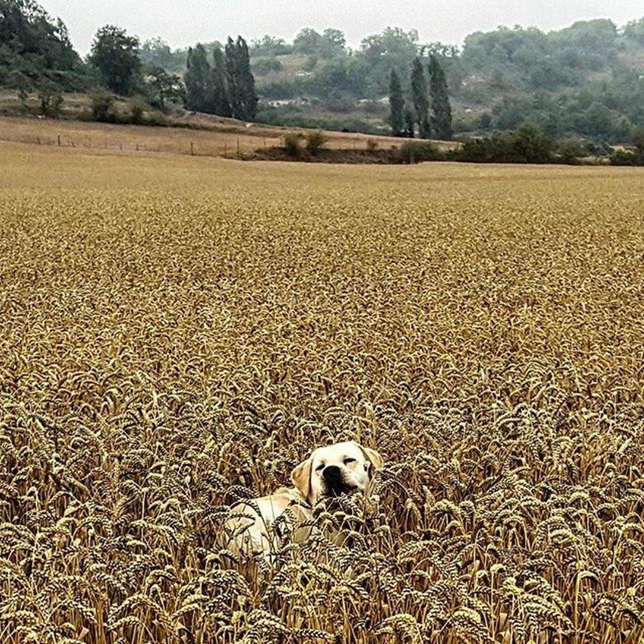 Mi peque metido en la cebada Cebada Labrador Retriever Burgos paseo naturaleza igersnaturaleza