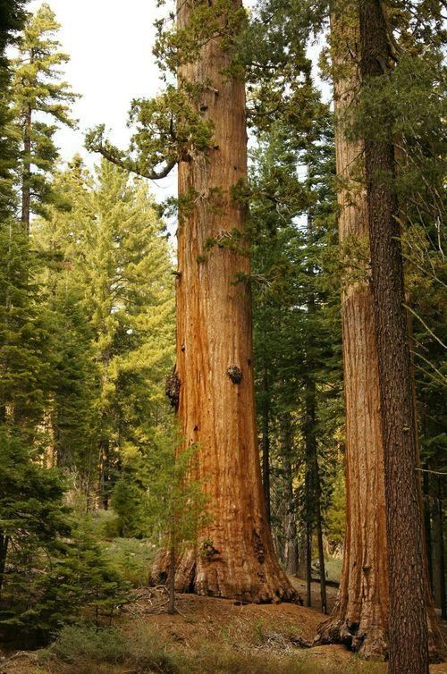 Giant Sequoia Mariposa Groves Yosemite National Park Yosemite Big Tree Tree Nature Photography EyeEm Nature Lover