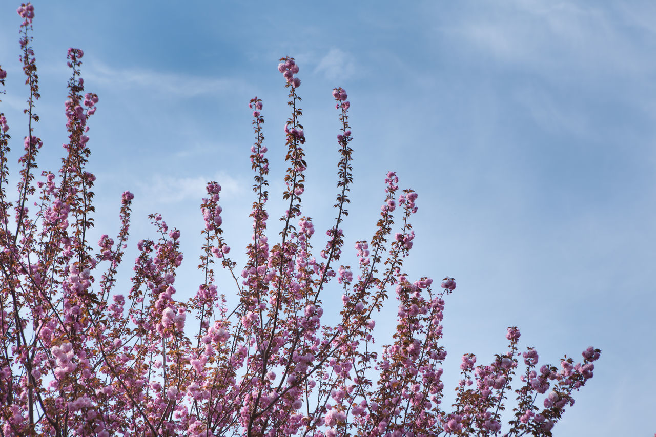 Beauty In Nature Blossom Cherry Blossoms Cloud - Sky Day Flower Fragility Freshness Growth Hanami Sakura  Low Angle View Nature No People Outdoors Pink Pink Color Plant Scenics Sky Springtime