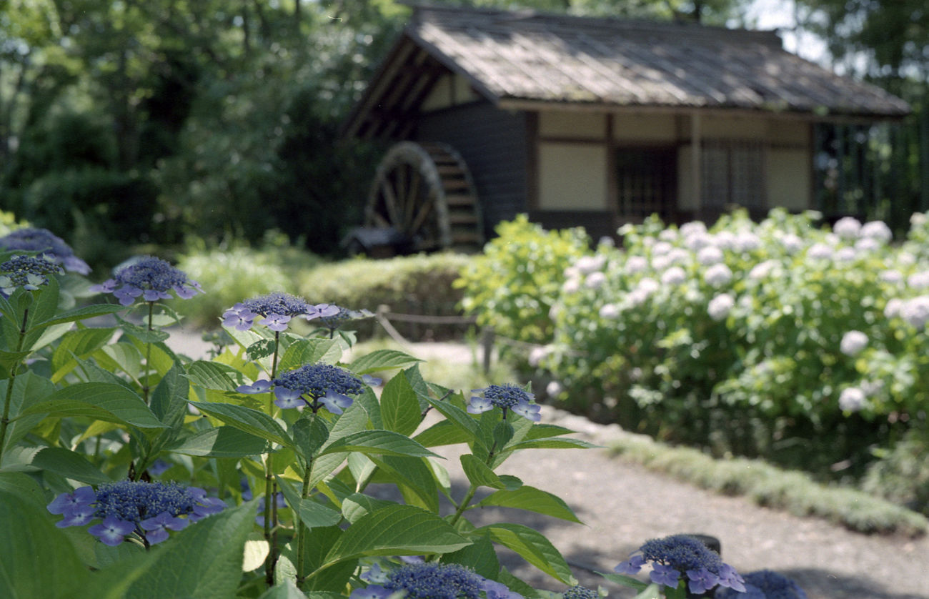 紫陽花 郷土の森 Relaxing Nature Flowers Eyeemphotography Film Photography Filmcamera Voigtländer