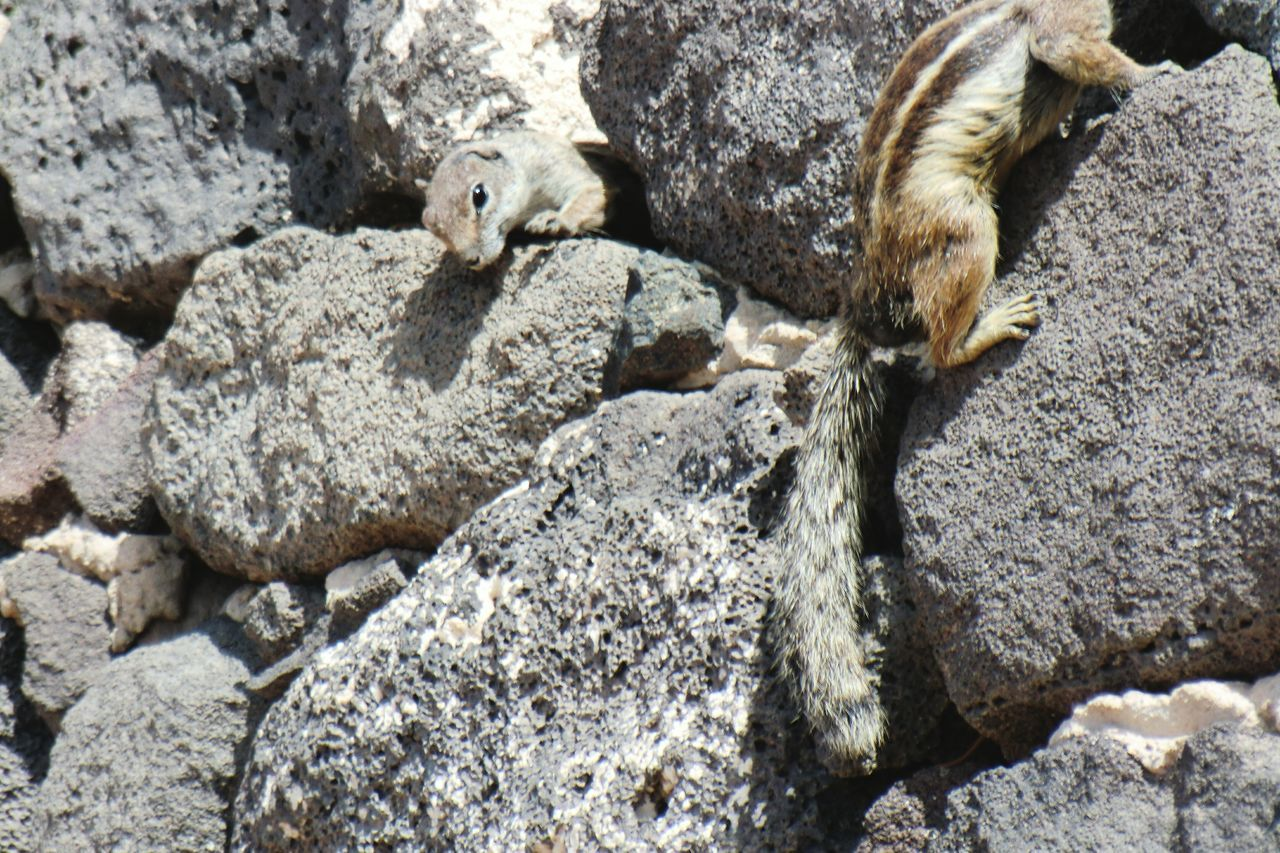 Squirrels in Jandia , Fuerteventura ...is it one with looong neck or two...;-) Kiomi Collection Rocky Beach Stone Wall Animals 2013 Journey