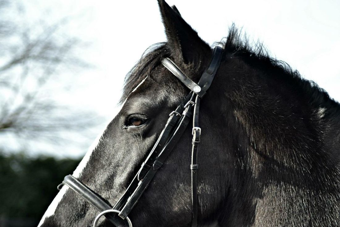 Horse Domestic Animals Animal Head  Animal Themes Livestock Mammal Close-up Working Animal One Animal Bridle Herbivorous Side View Animal Body Part Standing Part Of Animal Hair Focus On Foreground Animal Field Mane Eye Horse Eye Blackandwhite Horses Pony