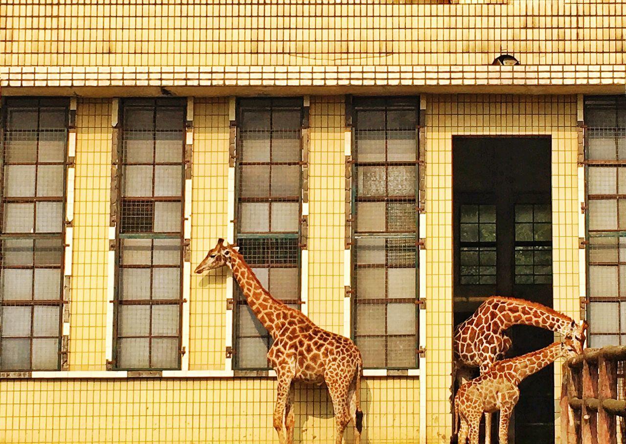 animal themes, animals in the wild, day, animal wildlife, giraffe, one animal, animals in captivity, outdoors, built structure, mammal, building exterior, no people, safari animals, architecture, nature, cheetah
