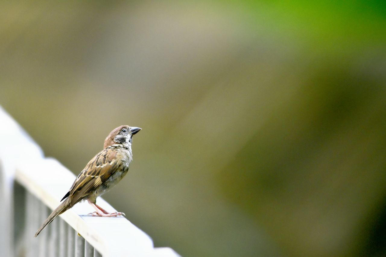 one animal, bird, animals in the wild, animal themes, perching, animal wildlife, day, focus on foreground, outdoors, sparrow, nature, no people, songbird, full length, close-up, beauty in nature
