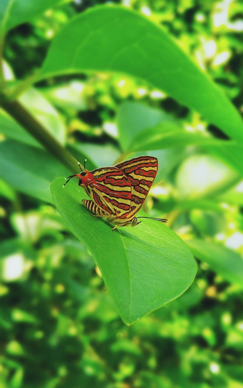 one animal, animals in the wild, insect, animal themes, leaf, green color, nature, plant, butterfly, no people, day, growth, outdoors, butterfly - insect, animal wildlife, beauty in nature, close-up
